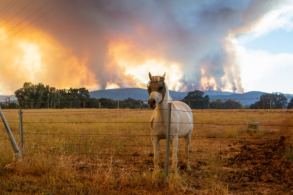 . With the River Fire raging in the background, a curious horse looks for attention. Chris Pugh-Ukiah Daily Journal.
