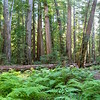 Montgomery Redwood Preserve - Ultra High Res