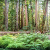 Redwoods, Ferns, and Light