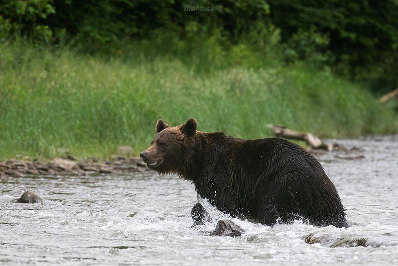 Niedźwiedź brunatny (Ursus arctos) przeprawiający się przez rzekę<br /> Bieszczady<br /> ©Mateusz Matysiak