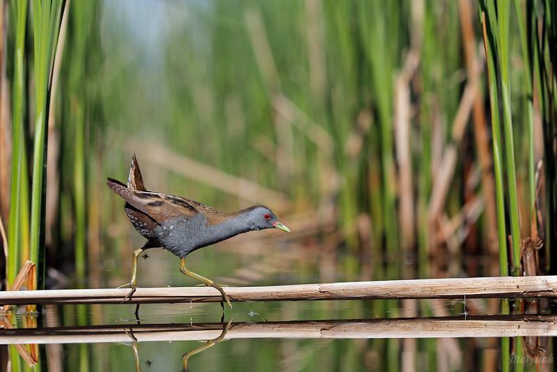 Samiec zielonki (Zapornia parva) pokonujący głęboki kanał<br /> ©Mateusz Matysiak