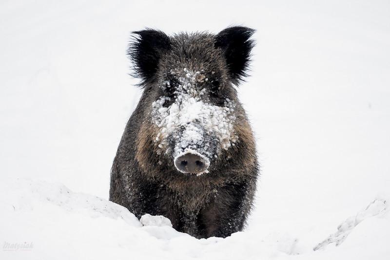 Skonfundowany dzik (Sus scrofa), któremu przerwałem rycie pod grubą warstwą śniegu<br /> Bieszczady<br /> ©Mateusz Matysiak