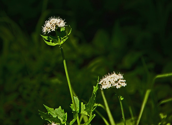 Umatilla Rim Trail (UNF) Flowers, Etc., 6-25-16