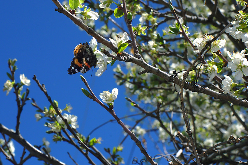 Butterfly on Plum Blossom