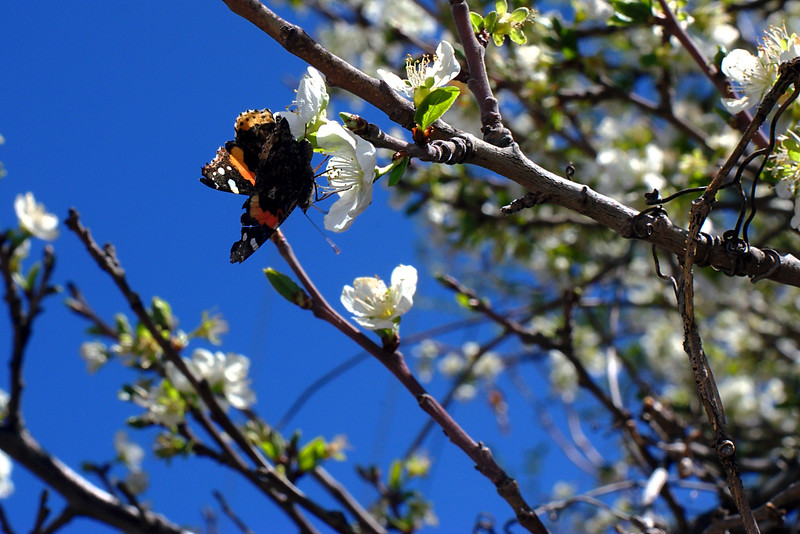 Same Butterfly on the same Plum Tree.