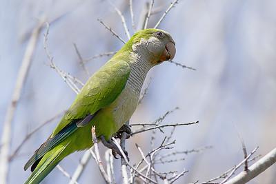 Monk Parakeet - Lakeland, Florida