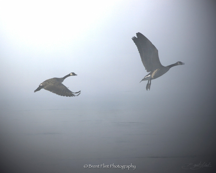 DF.386 - Canada geese taking flight in fog, Spokane River, Spokane County, WA.