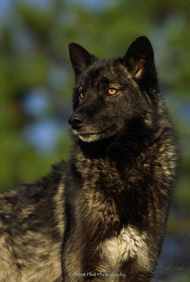 S.2030 - wolf