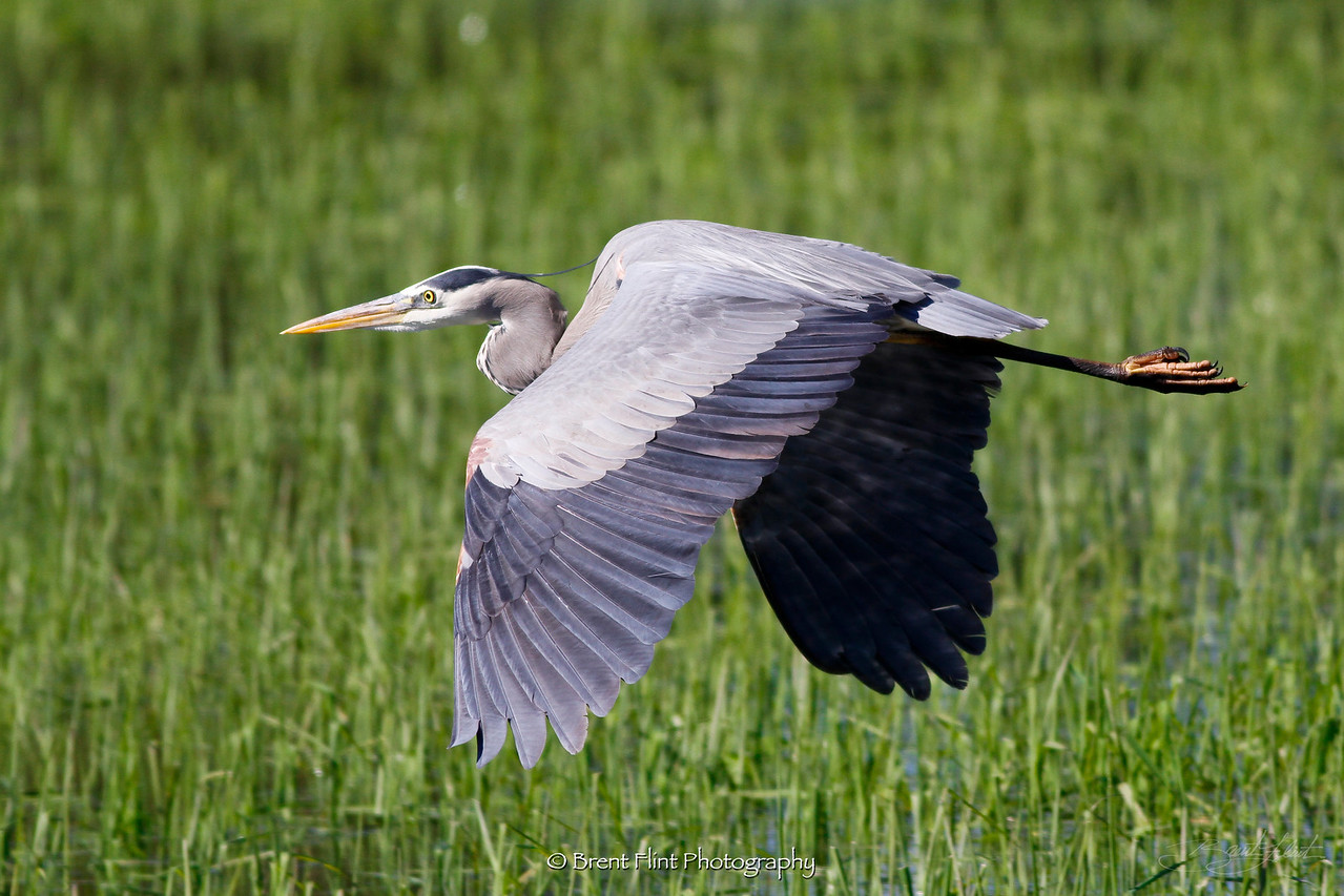 DF.1630 - great blue heron, Hauser Lake, Kootenai County, ID.