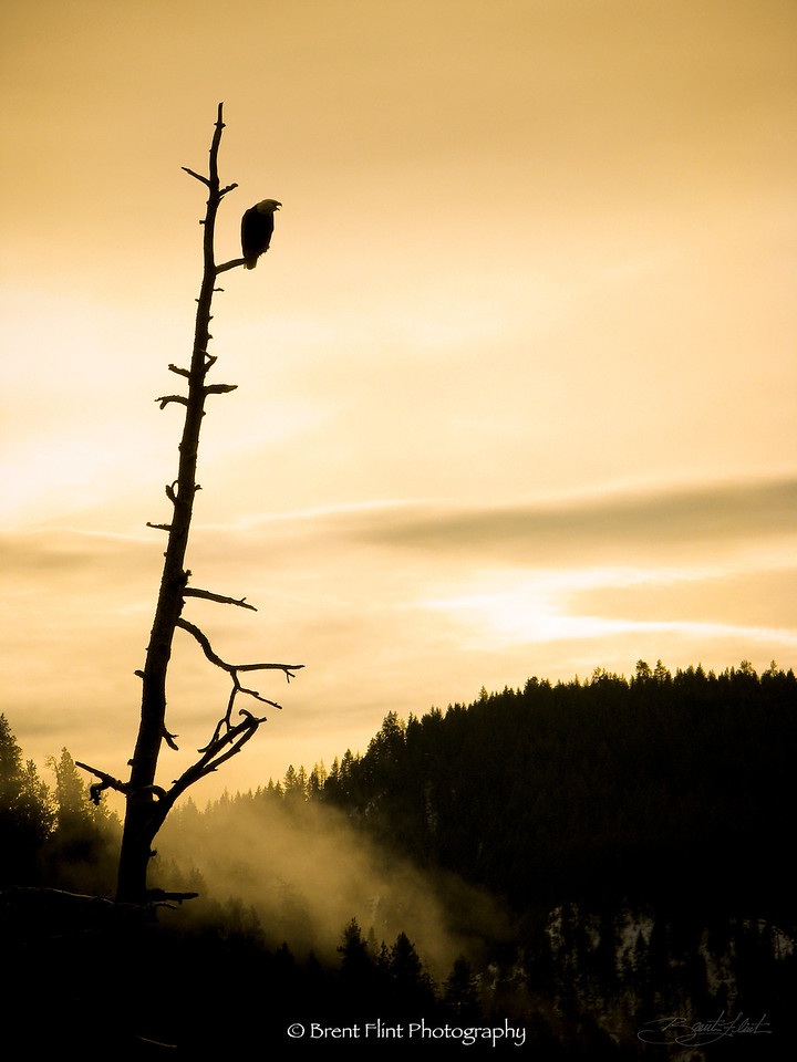 DF.718 - Bald eagle in snag, Lake Coeur d'Alene, ID.