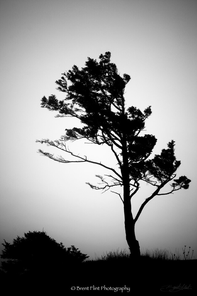 DF.674 - tree silhouette and fog, Ecola State Park, OR.