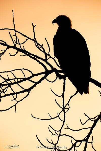 DF.1355 - eagle silhouette, Lake Coeur d'Alene, ID.