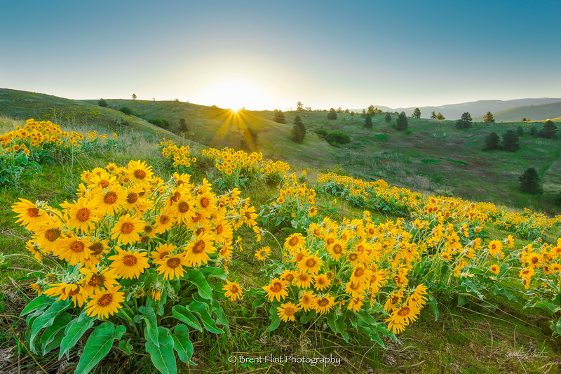 DF.3944 - arrowleaf balsamroot at sunrise, Saltese Uplands Conservation Area, WA.