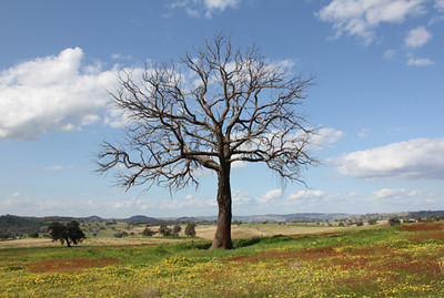 Tree with magpie & capeweed, Cocomingla 2010–44 x 65cm