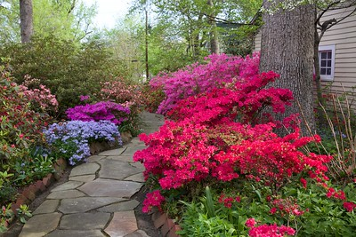 The azaleas are breath taking when fully bloomed!