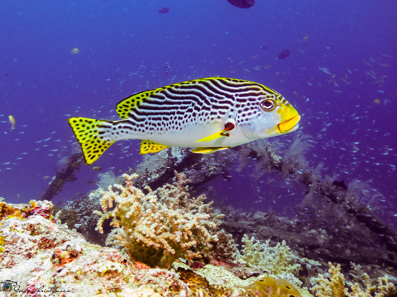 Sweetlips