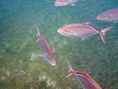 Bar Jack with Red-ear Herring