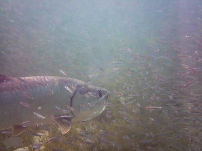 Tarpon with Red-ear Herring