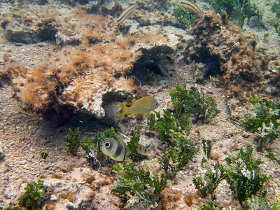French Grunt with Butterflyfish