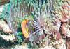 Maldive Anemonefish ( Amphiprion Nigripes )