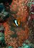 Clownfish and Anemone, Thailand