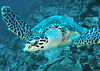Sea turtle - not sure if it is a green turtle or hawksbill turtle