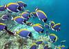 Velvet surgeonfish