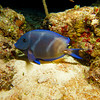 Blue Tang - at rest