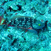 spotlight parrot fish