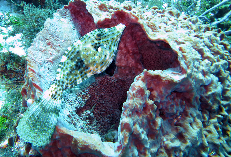 Scrawled file fish -1