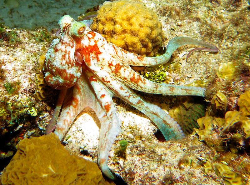 Octopus - 0