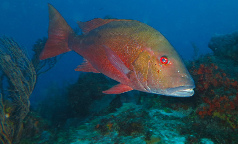 red snapper anyone