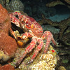 Clinging Crab