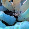 Anenome Shrimp