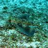 Same Flying Gunard - No Name Reef