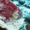 Four-eye Angel fish
