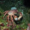 Clinging Coral Crab - Palancar Horseshoe