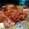 Scorpian Fish - Cedral Pass