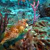 Pretty eyes Puffer - No Name Reef