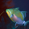 Queen Trigger - beautiful fish - Palancar Horseshoe