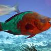 Rainbow Parrot - Cedral Pass