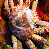 Code Pink Crab