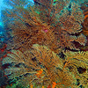 Columbia reef - Deep water sea fans