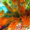 Golden Crinoid- a creature-Paradise