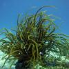 Sea Rods - Chanlanaab reef