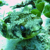 Balloonfish - No Name reef