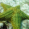 Cushion Sea Star - No Name Reef