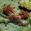 Clinging Crab - big fellow too