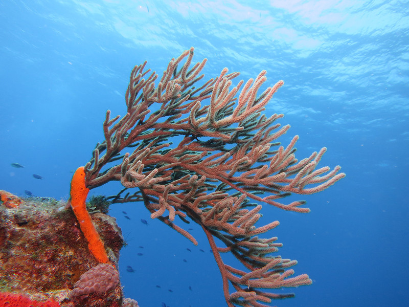 Orange Spiny Sea Rod - waving in the current