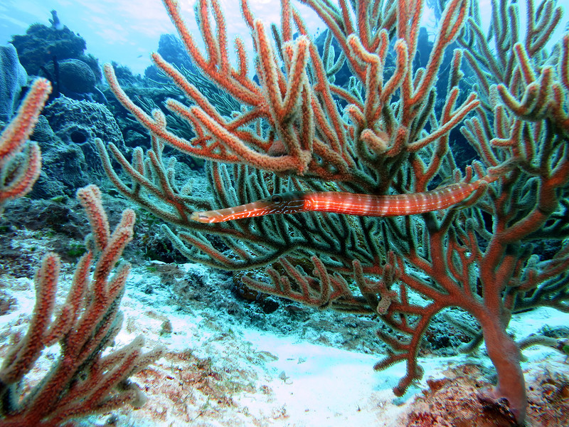 Trumpet Fish - they think they're hidden in the Sea Rods